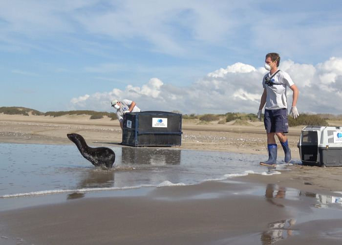 VIDEO: De Dock Sud a San Clemente, el regreso al mar de un lobo marino rescatado