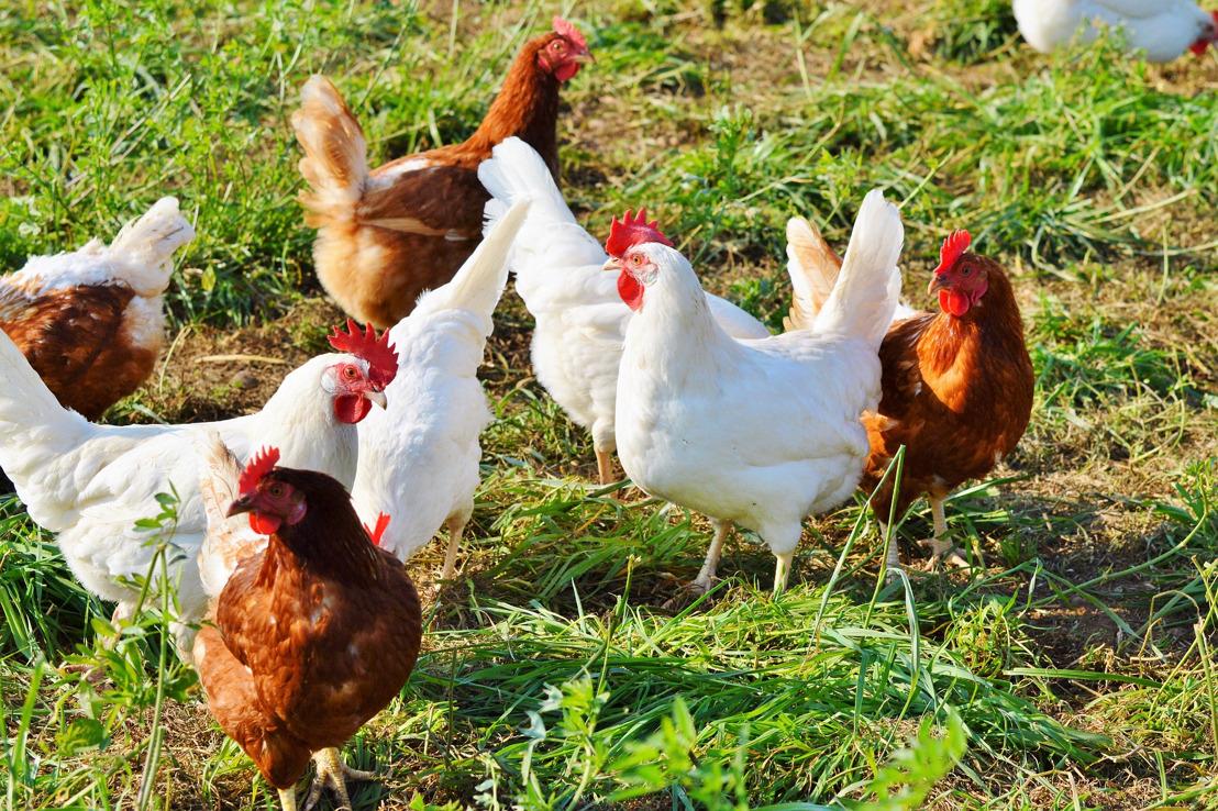 Domino's Pizza bannit les œufs de poules en cages