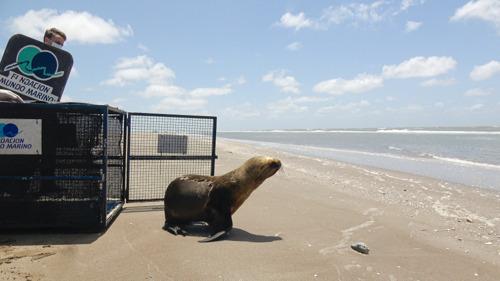 De una carretilla en Quilmes al mar: el regreso de un León Marino a su hogar