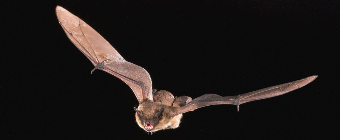 Bescherming vleermuizen in het Drongengoed loont: ruim negen soorten vleermuizen geteld