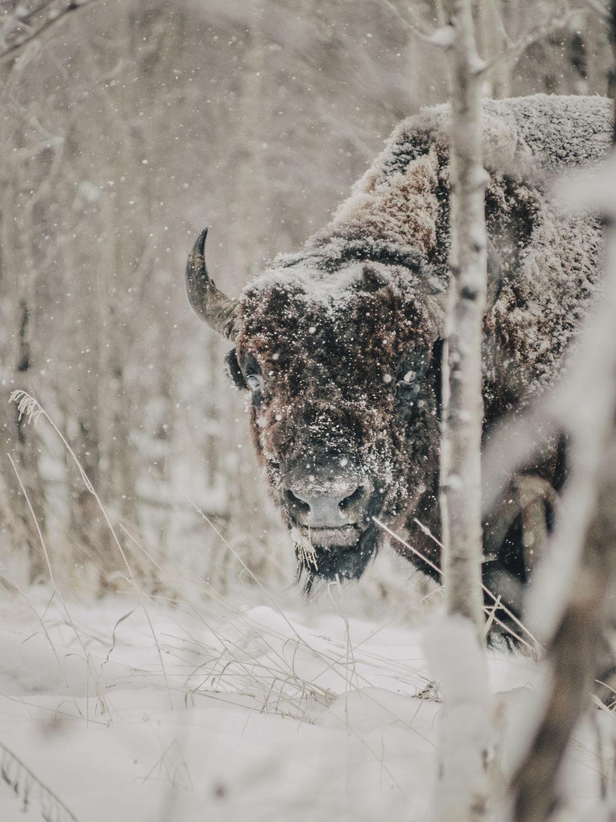 """Se dice Bisonte, no Búfalo"""