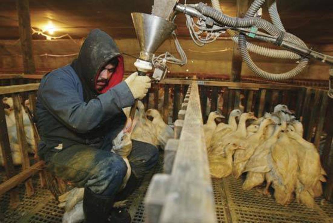GAIA soutient une proposition de décret visant à interdire le gavage en Flandre