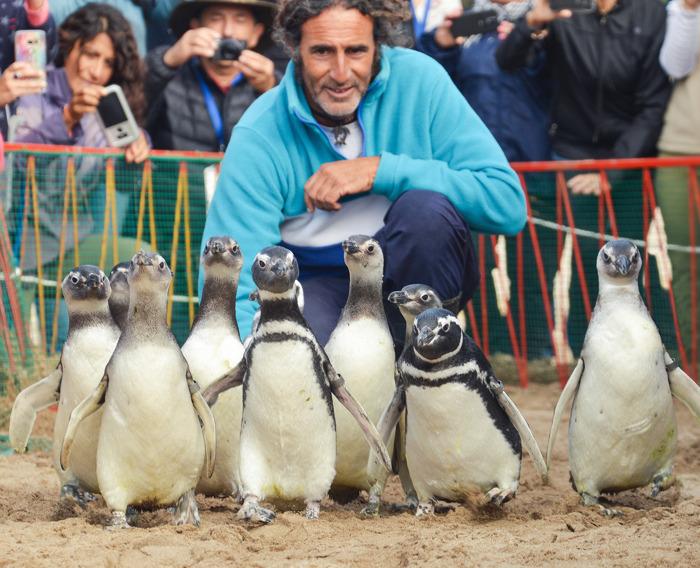 Una imagen llena de esperanza: 9 pingüinos magallánicos regresaron al mar