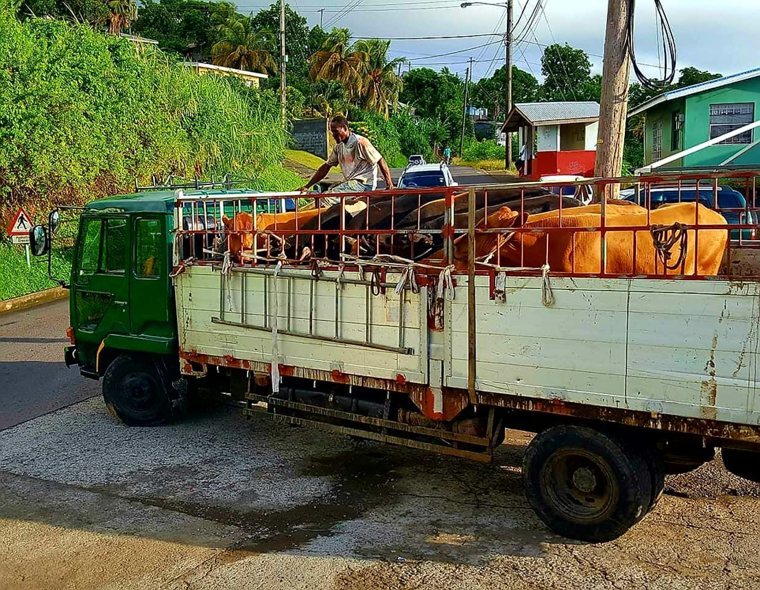 Saint Vincent and the Grenadines increases export of livestock in 2019