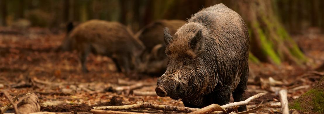 Afrikaanse varkenspest vastgesteld in Wallonië