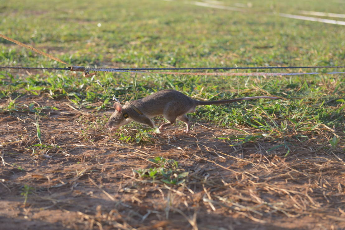 Goed gezien! - training rat als mijnenzoeker - (c) Padaboem