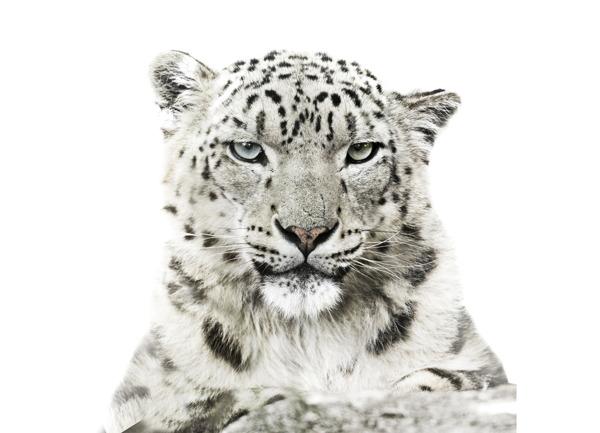 Preview: Un sommet crucial pour sauver le léopard des neiges et son habitat