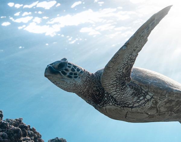 Preview: Ferguson donates PVC pipe to protect local sea turtles