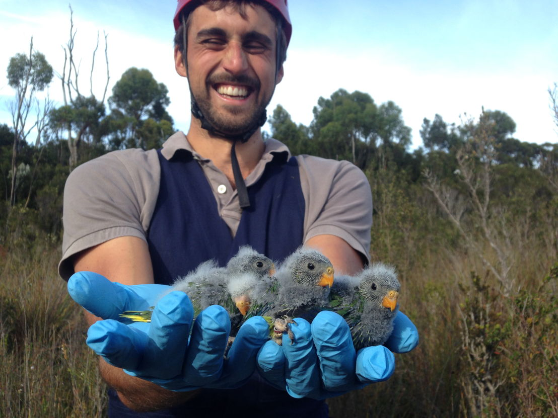Dr Dejan Stojanovic with orange-bellied parrots. Image credit: Henry Cook, ANU