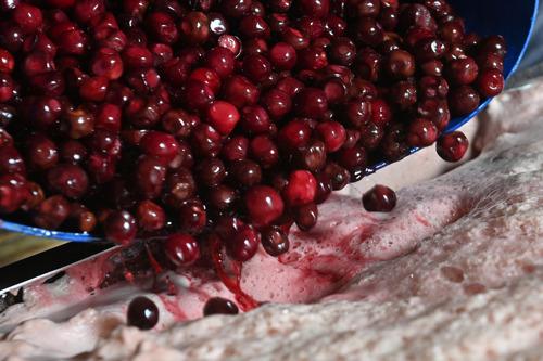 Grand jour pour la brasserie Belle-Vue : les cerises belges arrivent à Sint-Pieters-Leeuw