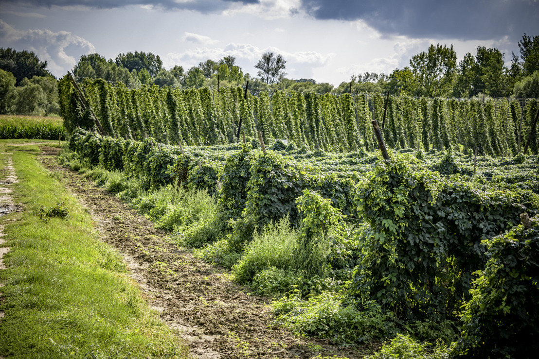 Nieuwe toekomst voor hop in Vlaams-Brabant?