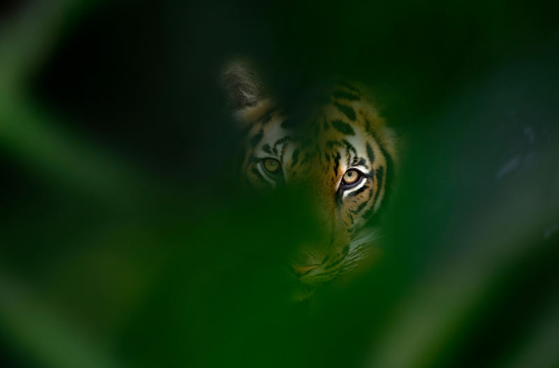 Verborgen voordelen van tijger bescherming © naturepl.com / Ernie Janes / WWF
