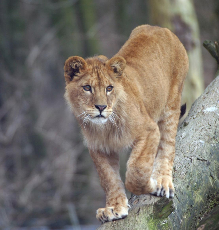 Réaction de GAIA suite à l'abattage d'une lionne à Planckendael : «Mentalité de cow-boy de la police ? Une intervention d'incompétents.»