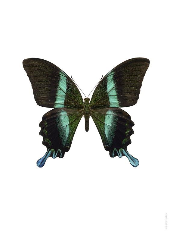 Papilio blumei 34€