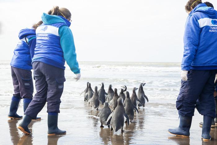 """El """"pingüino cordobés"""" que fue víctima del mascotismo pudo regresar al mar"""