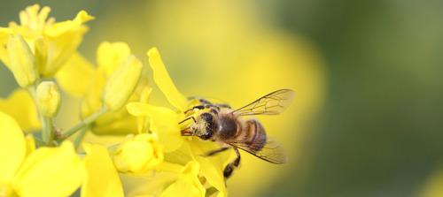 Salvando a las abejas con el Internet de las Cosas (IoT)