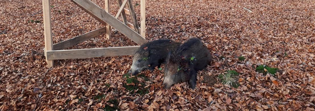 Drukjacht op everzwijnen in Veursbos - Roodbos - Vossenaerde te Voeren