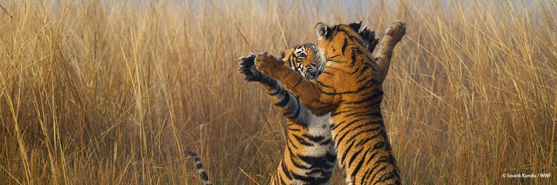 In Azië dreigt een derde van de beschermde gebieden de tijgers te verliezen die er leven
