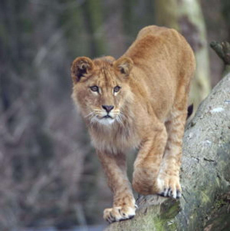 """Reactie GAIA op doodgeschoten leeuwin: """"Cowboymentaliteit bij politie? Knoeiers aan het werk."""""""