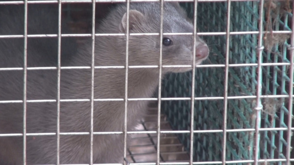 Preview: Flemish Parliament approves ban on fur farming and force feeding