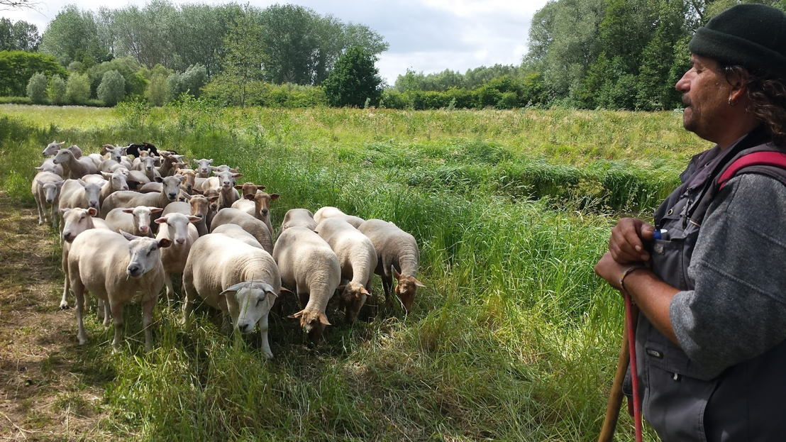 Herder in Pajottenland