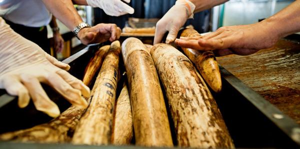 Preview: Un nouveau rapport lève le voile sur les marchés d'ivoire en Afrique centrale
