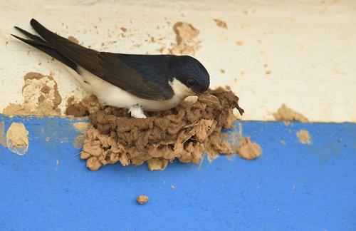 Zwaluwhotel verwelkomt zwaluwen aan Buggenhoutbos