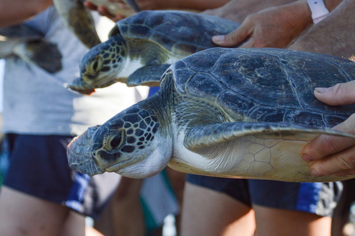Seis tortugas marinas regresaron al mar, gracias al compromiso de un vecino