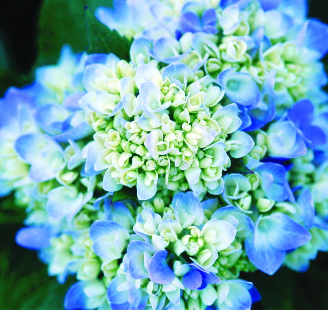 Hydrangeas (photo credit Pike Nurseries)