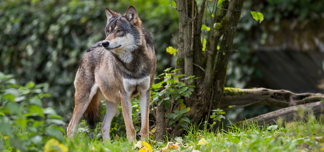 Nieuwe wolfwaarneming in Vlaanderen