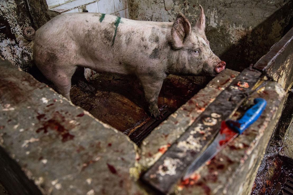 MFA e AE dan a conocer investigación sobre tortura animal en rastros del Gobierno Federal en México