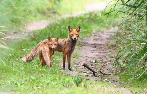 Waakzaamheid voor ziekten bij grofwild, vossen en vleermuizen
