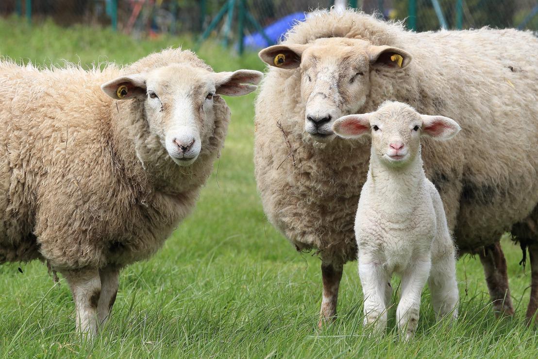 Accord historique en Flandre pour l'interdiction de l'abattage sans étourdissement