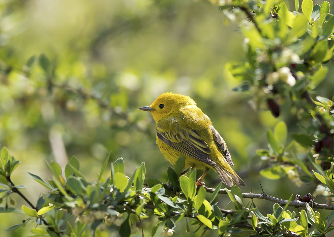 Yellow Warbler in Barberry Mahonia