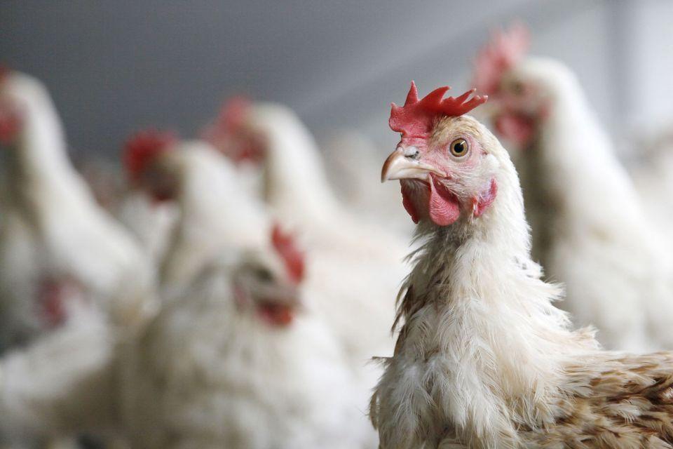 Pollo - Allevamento