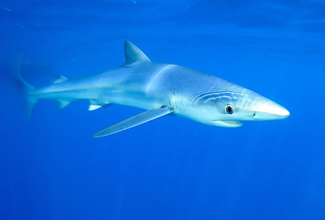 Mediterrane haaien zijn volgens WWF de meest bedreigde haaien ter wereld