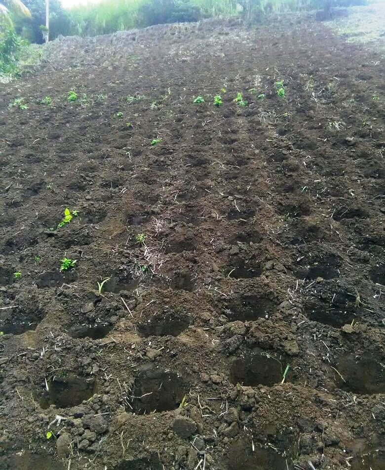 New farm land acquired in St. Vincent and the Grenadines for increased dasheen production.
