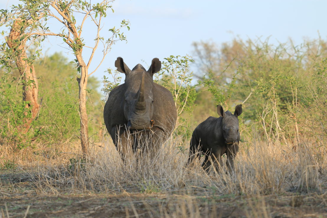 Rhino and calf. Photo Winsome Denyer