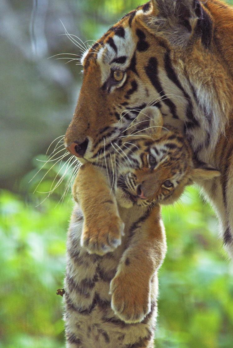 © naturepl.com / Edwin Giesbers / WWF-Canon