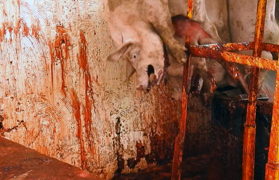 Imagen cortesía: Mercy for Animals.