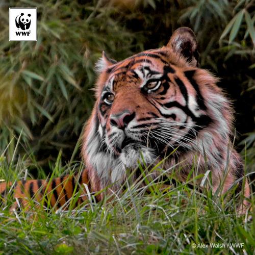 Le boom des infrastructures en Asie pourrait anéantir des années d'efforts de conservation du tigre