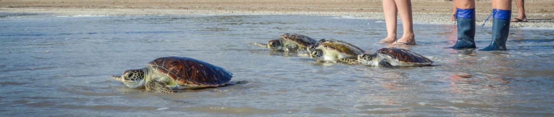 En lo que va del año el 60% de las tortugas marinas rescatadas tenían plástico en sus intestinos