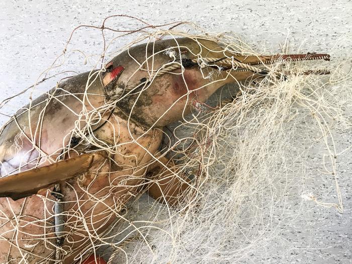 Turistas encuentran a un delfín y a su cría muertos en una red fantasma