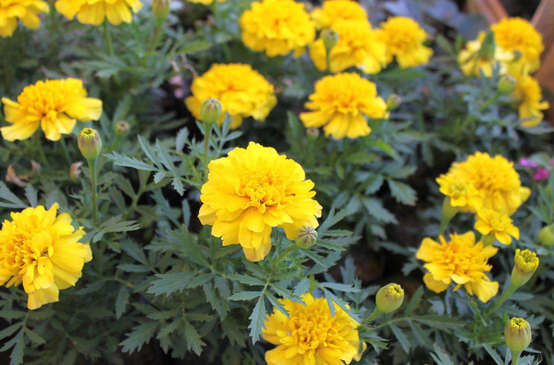Marigolds (photo credit Pike Nurseries)