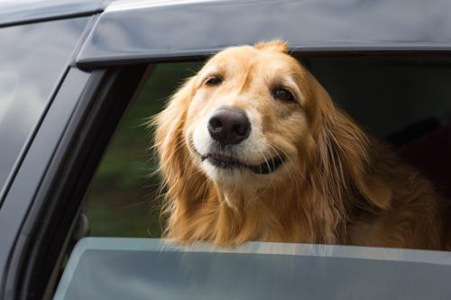 N'oubliez pas votre chien dans la voiture !