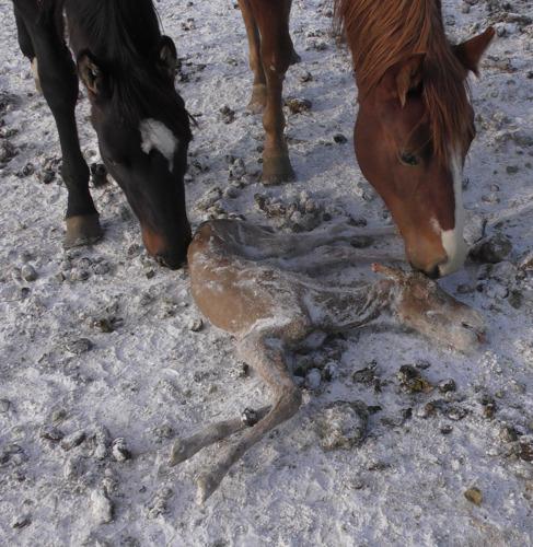 Paardenvlees uit Argentinië, Uruguay en Canada teert op voortwoekerend dierenleed