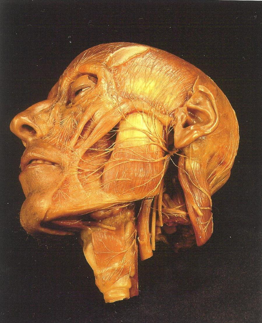 Clemente Susini, De innervatie van het gezicht, 1798. © Muséum national d'histoire naturelle (Parijs) - Direction des bibliothèques et de la documentation