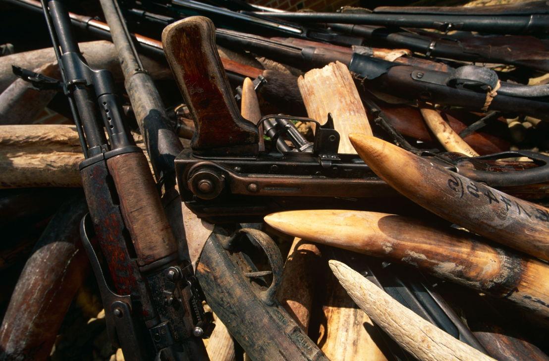 in beslag genomen wapen met illegale vangst aan slagtanden (Loxodonta africana}) Odzala NP, Republiek Congo