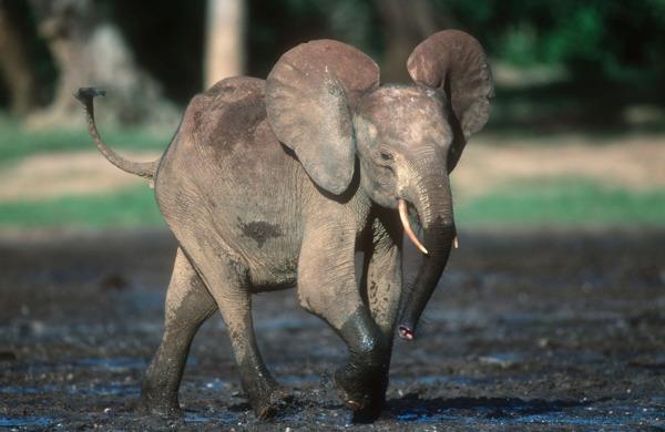 Preview: Olifantencrisis in Afrika is groter dan ooit - Gabon is 80% van populatie kwijt