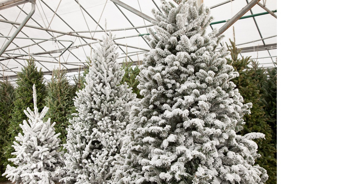 Pike Nurseries offers superior selection of Christmas trees and care-free décor options!